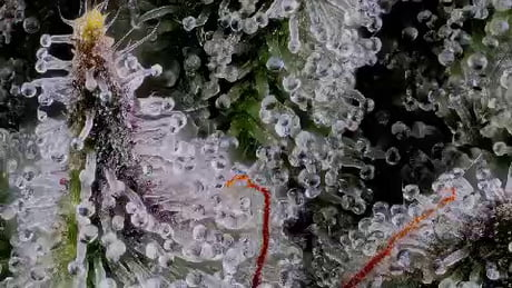 Cannabis trichomes under high magnification