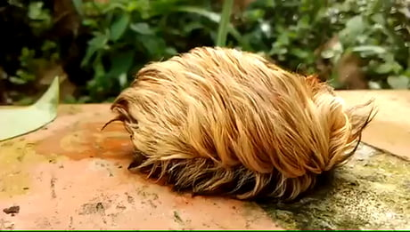 Trump's wig leaving the white house